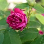 Sommerschnitt bei Rose de Resht