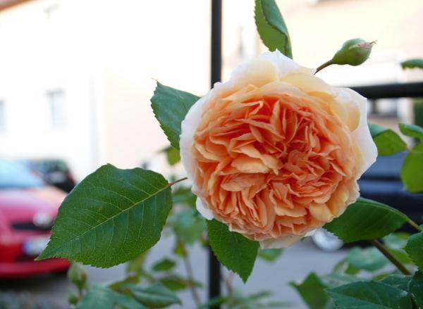 rosen ins rechte licht ger ckt rosen. Black Bedroom Furniture Sets. Home Design Ideas