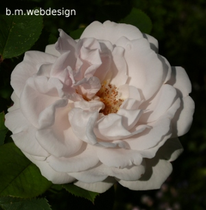 maiden s blush rosen. Black Bedroom Furniture Sets. Home Design Ideas