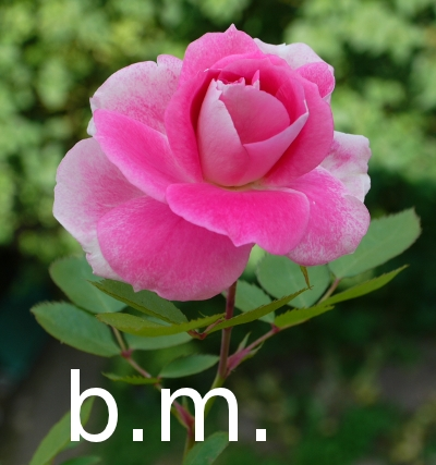 rosafarbene Rose