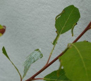 Larve der Weidenblattwespe
