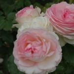 eden-rose