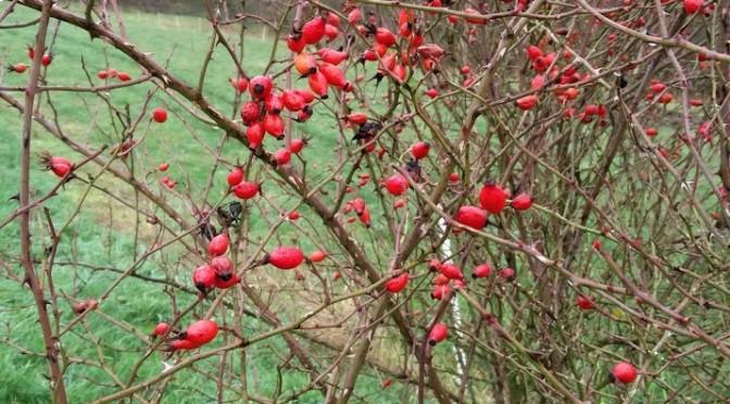 Hagebutten der Apfelrose