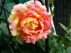 Zisterzienser Rose
