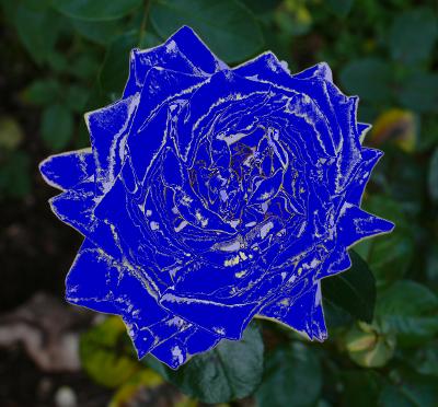 Blaue Rosen? Gibt es nicht