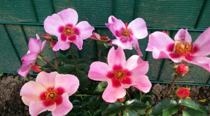 persische Rose