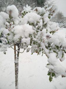Rosenstämmchen im Schnee