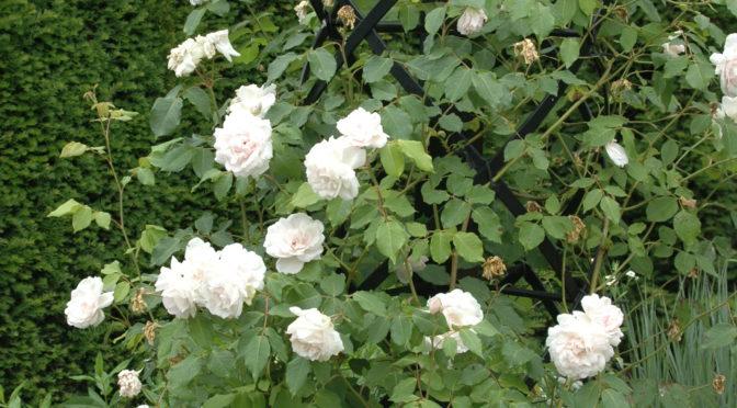 Rosen gießen?